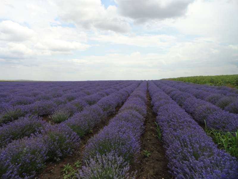 The lavender field, the parcel is 1 200 sq.m.